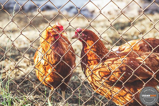 Kotoran Ayam