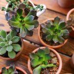 Tanaman Succulent Satu Ini Bisa Kamu Pelihara Selamanya! Mau?