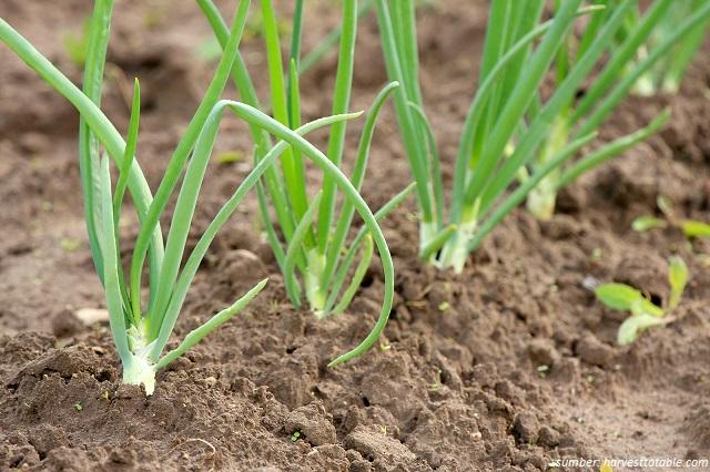menanam bawang putih