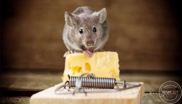 15 Cara Mengusir Tikus dengan Bahan Alami (100% Ampuh)