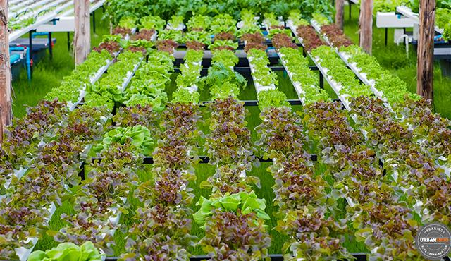3 Bahan Ini Bermanfaat Sebagai Pupuk Organik Nutrisi Hidroponik!